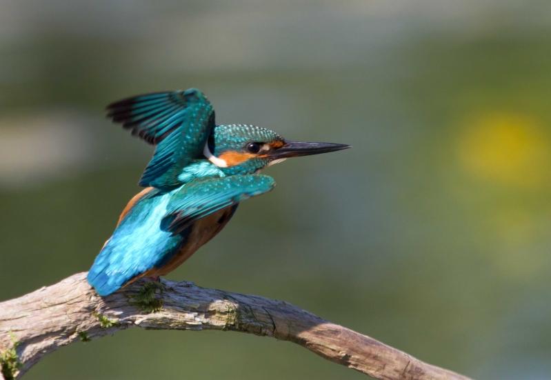 Eisvögel (Alcedo atthis) - Blaue Edelsteine der Natur