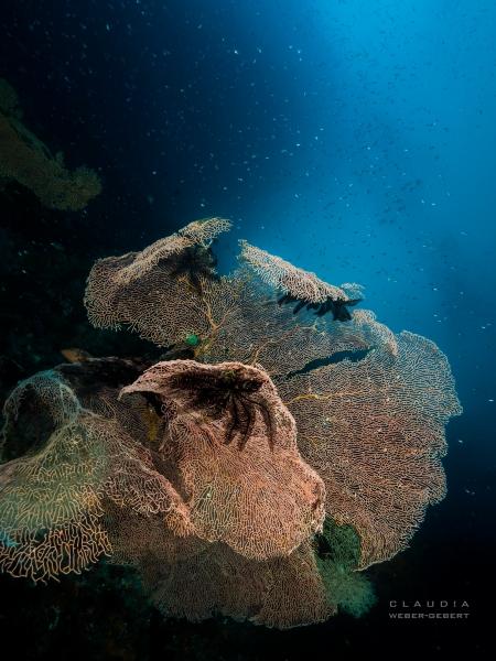 Riesiger Korallen-Fächer - Raja Ampat South